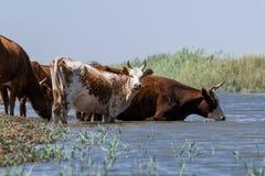 Kor på ett brunnsortdrinkvatten och att bada under stark värme och torka royaltyfri fotografi