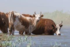 Kor på ett brunnsortdrinkvatten och att bada under stark värme och torka arkivfoto