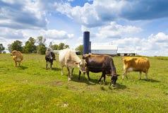 Kor på fält Royaltyfria Bilder