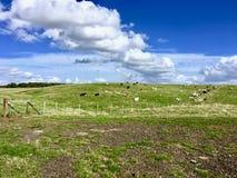 Kor på fälten Arkivbilder