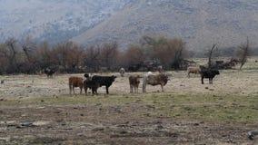 Kor på fältet på berg arkivfilmer