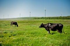 Kor på fältet med vindturbiner Arkivbild