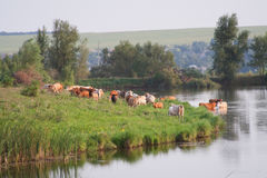 Kor på floden Arkivbild