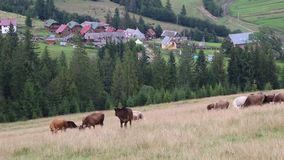Kor på grässlätten stock video