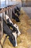 Kor på lantgård Arkivfoto