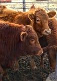 Kor på lantgård Royaltyfri Bild