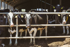 Kor på lantgård Djurhållningbegrepp Arkivfoton