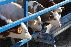 Kor på lantgård Svartvita kor som äter hö i stallet royaltyfria bilder