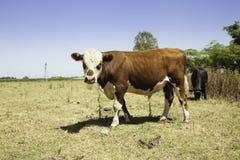 Kor på prärie royaltyfria bilder