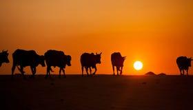 Kor på sanddyn i Vietnam Arkivbild