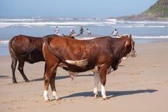 Kor på sanden, på den andra stranden, port St Johns på den lösa kusten i Transkei, Sydafrika royaltyfria foton