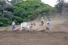 Kor plogar fältet Arkivbilder
