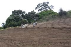 Kor plogar fältet Fotografering för Bildbyråer