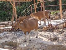Kor röda tjurar, banteng Arkivbild