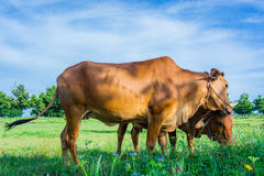 Kor sätter in in Fotografering för Bildbyråer