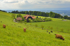 Kor som äter gräs med berg och himmel i bakgrund Fotografering för Bildbyråer