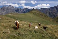 Kor som äter gräs på berget royaltyfri bild