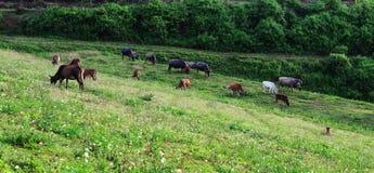 Kor som äter gräs på kullen i Bac Kan, Vietnam Royaltyfri Bild