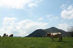 Kor som betar i ängarna Arkivbilder