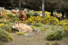 Kor som betar i berget Royaltyfria Bilder