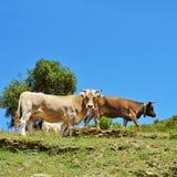 Kor som betar i bygden i Spanien Arkivfoton