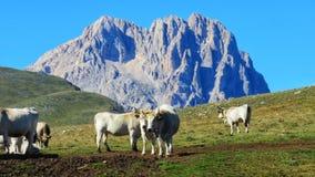 Kor som betar i campoimperatore royaltyfri foto