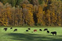 Kor som betar i en Autumn Pasture Arkivfoton