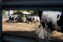 Kor som betar i en ladugård Royaltyfri Fotografi