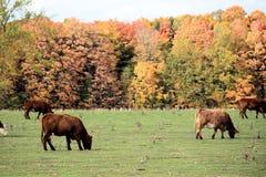 Kor som betar i ett fält med Autumn Trees Royaltyfri Foto