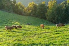 Kor som betar i ett grönt fält royaltyfri bild