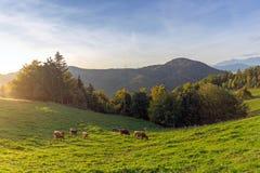 Kor som betar i ett sceniskt grönt fält på solnedgång arkivbilder