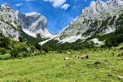 Kor som betar i högt alpint, betar i fjällängarna Österrike Tiro Arkivbilder