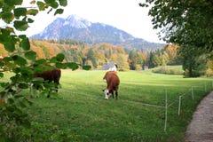 Kor som betar på österrikisk bygd med berg i bakgrunden Arkivbild