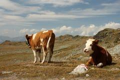 Kor som betar på alpin äng Royaltyfri Bild