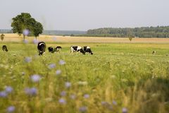 Kor som betar på en äng Fotografering för Bildbyråer