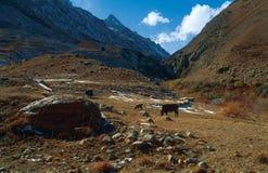 Kor som betar på en bakgrund av berg Arkivfoto