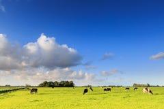 Kor som betar på en grässlätt i ett typisk holländskt landskap royaltyfri fotografi