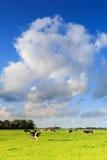 Kor som betar på en grässlätt i ett typisk holländskt landskap royaltyfria foton