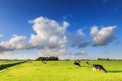 Kor som betar på en grässlätt i ett typisk holländskt landskap arkivfoton