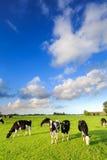 Kor som betar på en grässlätt i ett typisk holländskt landskap arkivbilder