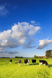 Kor som betar på en grässlätt i ett typisk holländskt landskap royaltyfri bild