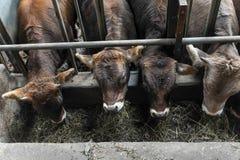 Kor som betar på en lantgård Royaltyfria Foton