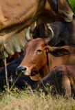 Kor som betar på fält Arkivfoto