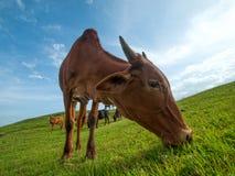 Kor som betar på frodigt gräsfält Arkivbild