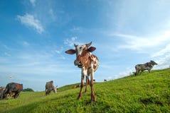 Kor som betar på frodigt gräsfält Royaltyfri Bild