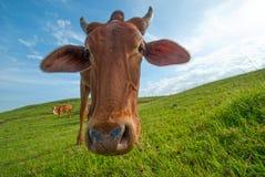 Kor som betar på frodigt gräsfält Arkivfoto