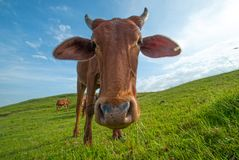 Kor som betar på frodigt gräsfält Royaltyfria Foton