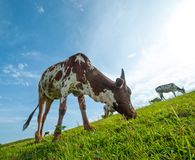 Kor som betar på frodigt gräsfält Royaltyfri Fotografi