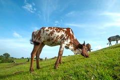Kor som betar på frodigt gräsfält Arkivfoton