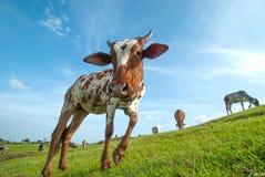 Kor som betar på frodigt gräsfält Royaltyfria Bilder